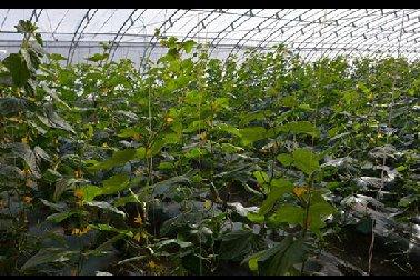格鲁吉亚国际蔬菜示范中心